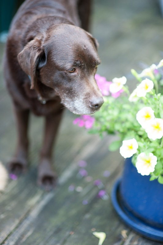 Mabel the chocolate lab with four o'clock flowers
